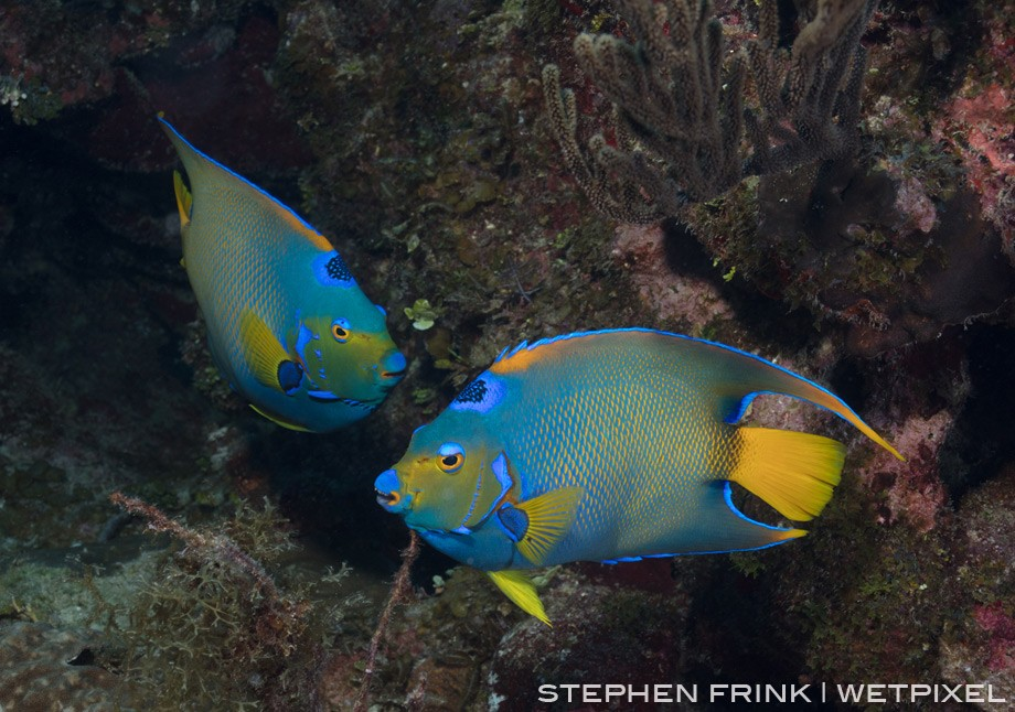 Queen angelfish are abundant, but it is rare to get multiples in same frame