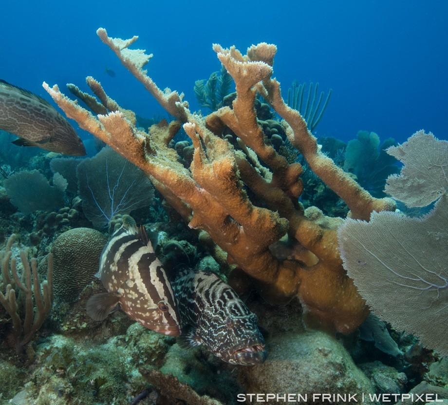 Nassau grouper and black grouper shelter beneath an elkhorn coral