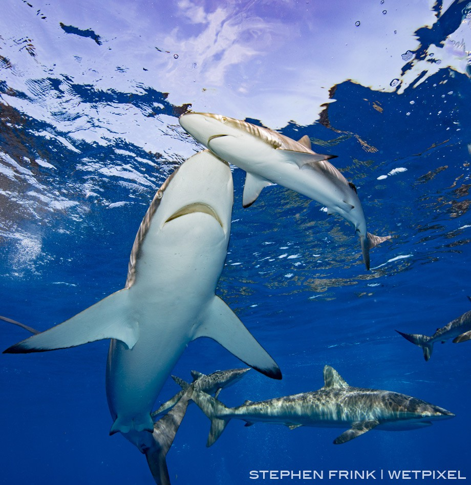 Silky sharks are typically encountered closer to the surface, rarely commingling with the Caribbean reef sharks