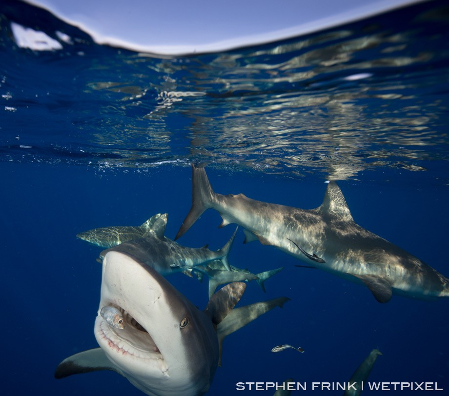 Caribbean reef sharks approach the boat, acclimated by years of baited reinforcement