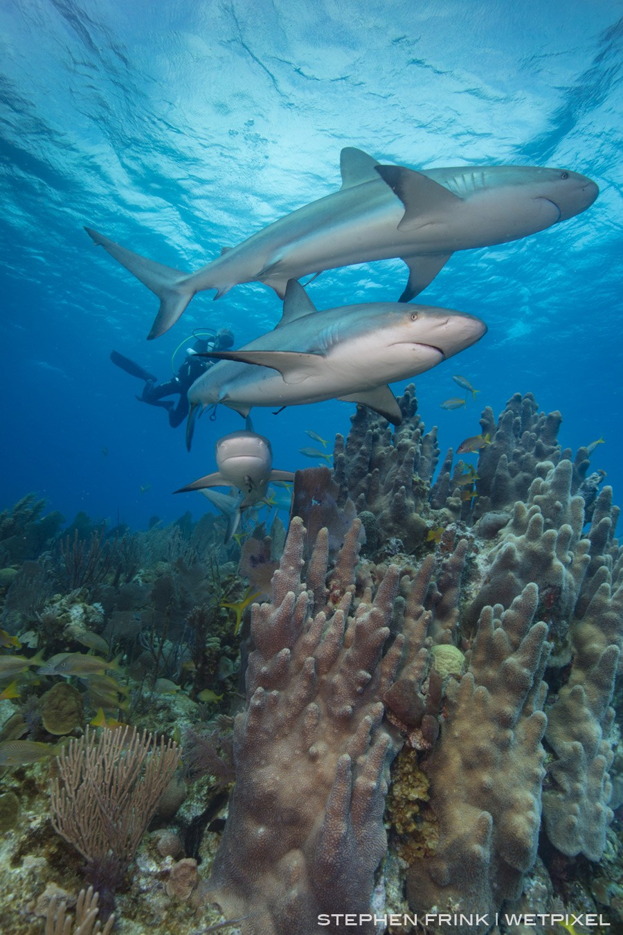 Pillar corals are endangered in many parts of the Caribbean, yet remain healthy in the Gardens of the Queen
