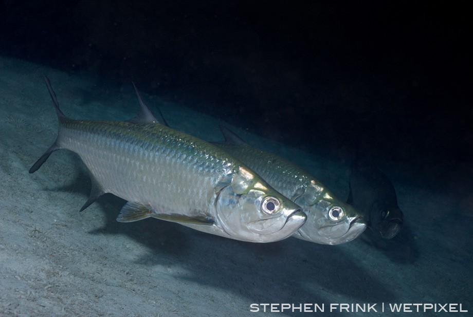 Tarpon are fairly common under ledges in the 40-60 foot depths