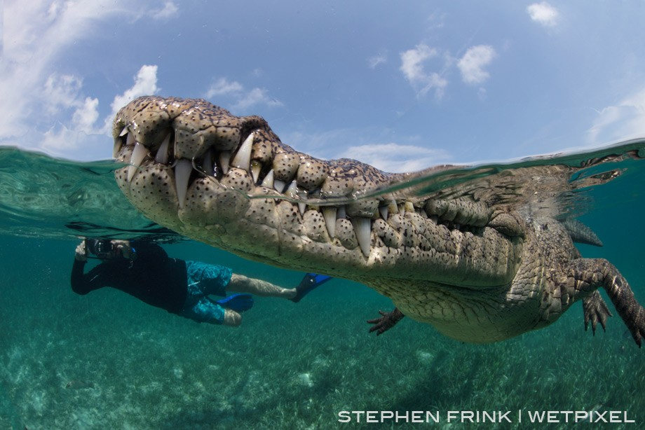 Nino, the American crocodile long accustomed to interacting with snorkelers, is an iconic Jardines de la Reina photo-op