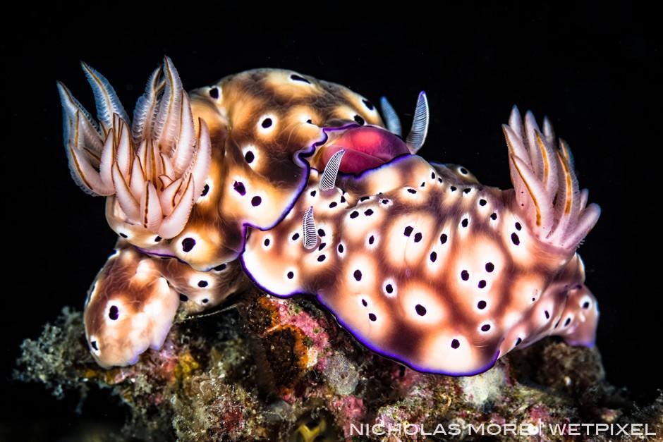 Mating *Risbecia tryoni* Nudibranch