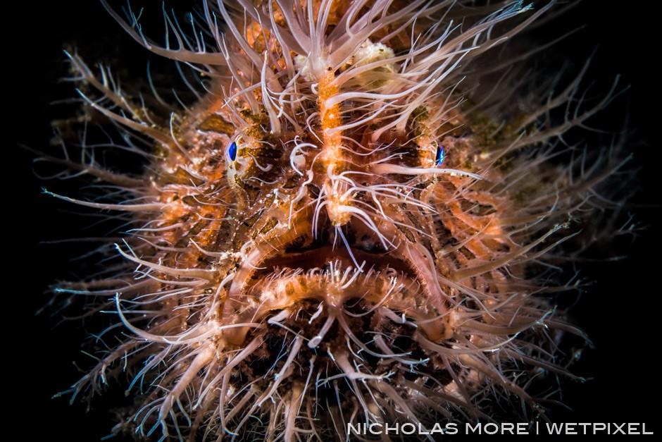 Striated frogfish or hairy frogfish *Antennarius striatus* Retra LSD Snoot