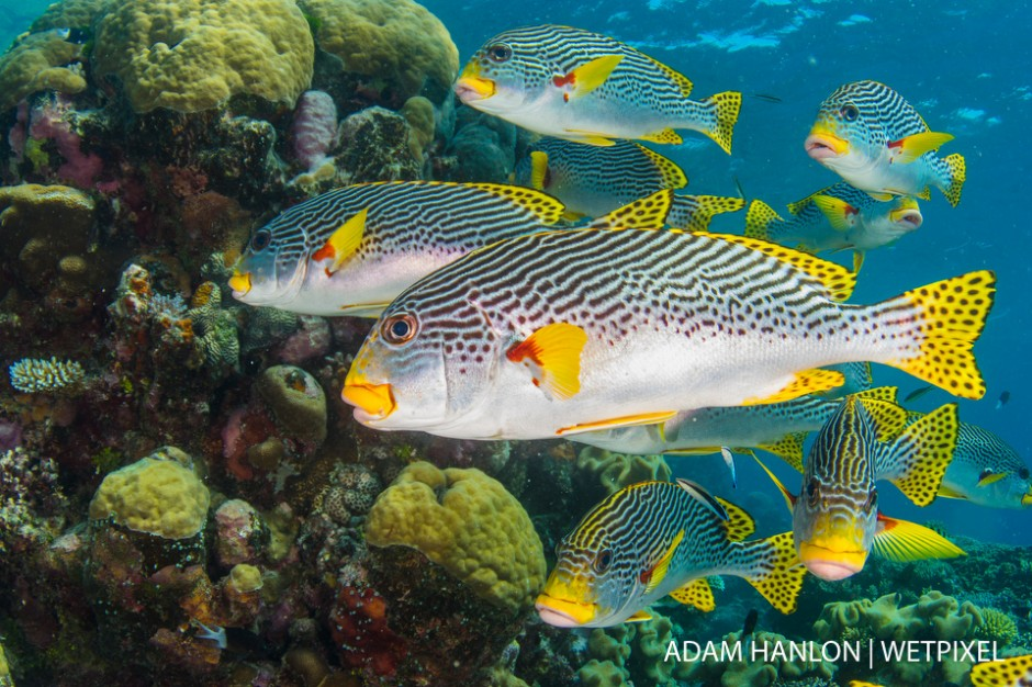 A small school of Diagonal-banded sweetlips (*Plectorhinchus lineatus*) at  Clam Beds, Ribbon Reef number 4, Great Barrier Reef.