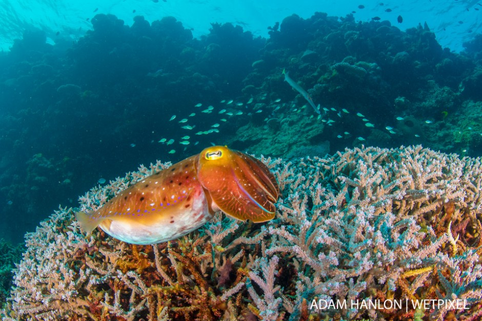 A broadclub cuttlefish (*Sepia latimanus*) above the corals at Summer Bay, Ribbon Reefs, Great Barrier Reef.