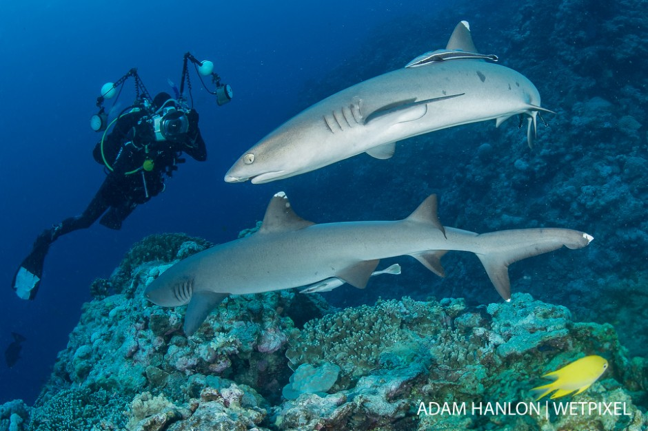A photographer captures an image of two whitetip reef sharks (*Triaenodon obesus*) at North Horn, Osprey Reef, Coral Sea.