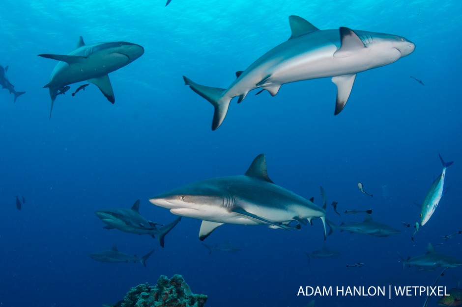 Grey reef sharks (*Carcharhinus amblyrhynchos*) surround the bait during a shark feed at North Horn, Osprey Reef, Coral Sea