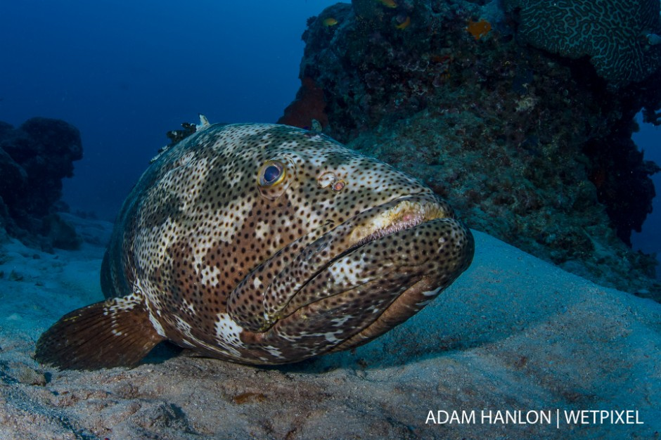 A potato cod (*Epinephelus tukula*) rests on the sea bed at Cod Hole, Ribbon Reef 10, Great Barrier Reef.