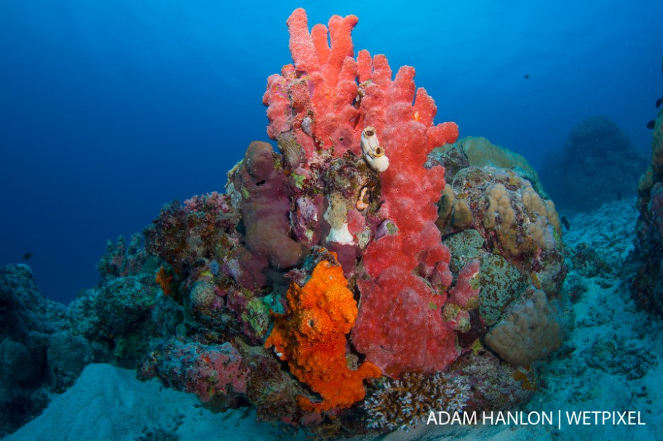 Red encrusting sponge adds color to the hard corals at Cod Hole, Ribbon Reef 10, Great Barrier Reef.