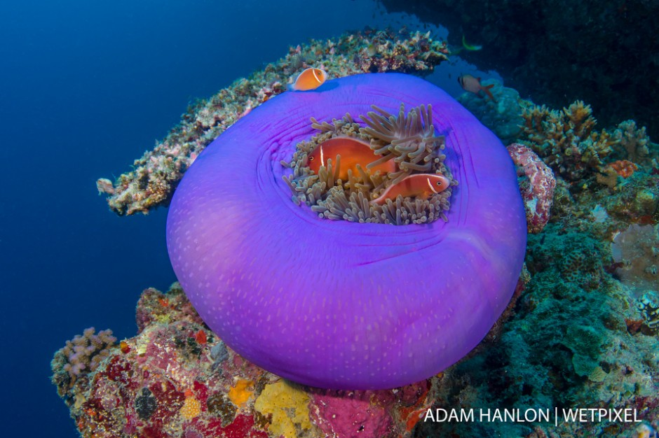 A family of pink anemonefish (*Amphiprion perideraion*) in a magnificent anemone (*Heteractis magnifica*) on Steve's Bommie, Great Barrier Reef.