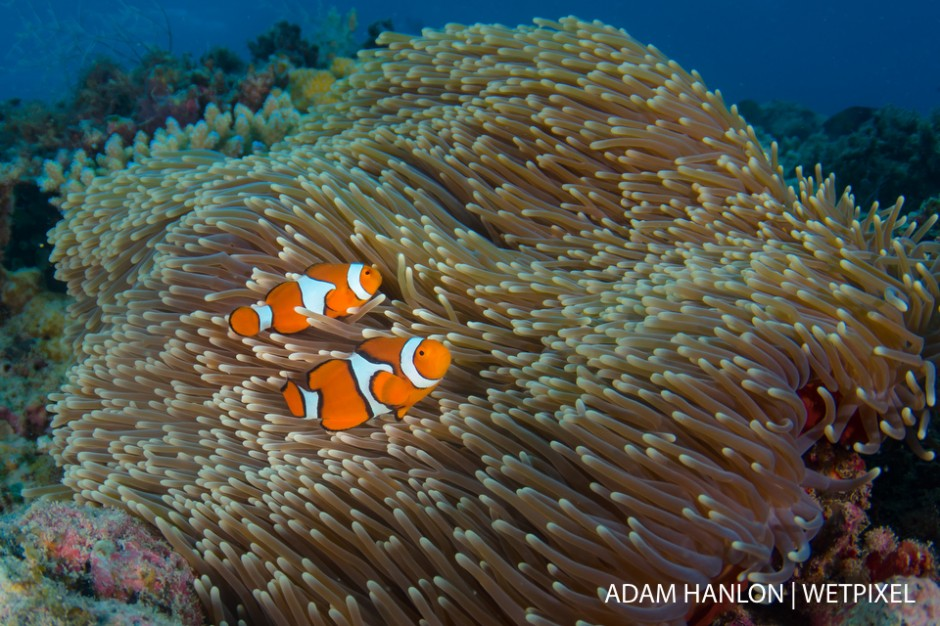 A pair of clown anemonefish (*Amphiprion percula*) in an anemone on the top of Steve's Bommie, Ribbon Reef number 3, Great Barrier Reef.