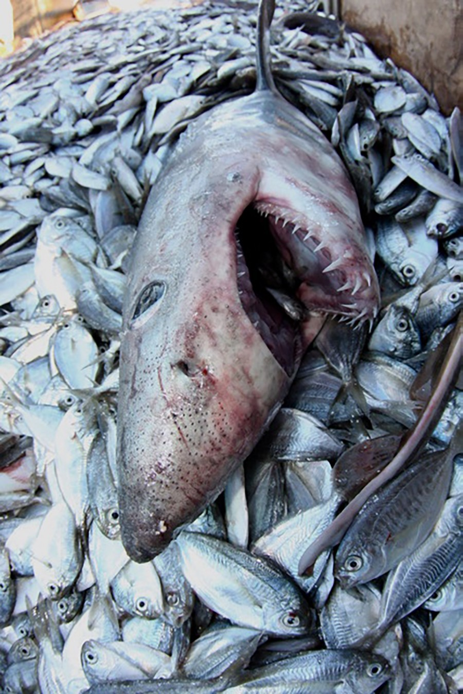 With a great variety of shark species off the coast of New England, many species are    killed as by catch