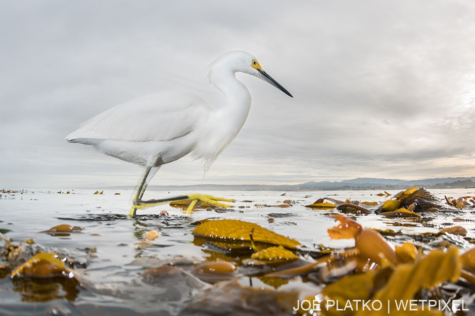 This little egret (*Egretta garzetta*) was stalking baitfish among the canopy, showing that interesting animals can be found on every section of a kelp forest.