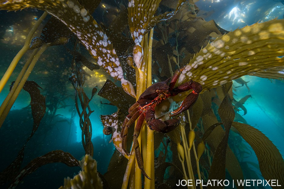 The seafloor isn't the only place to find critters in a kelp forest. You never know what might be staring down at you, such as this kelp crab (*Pugettia producta*).