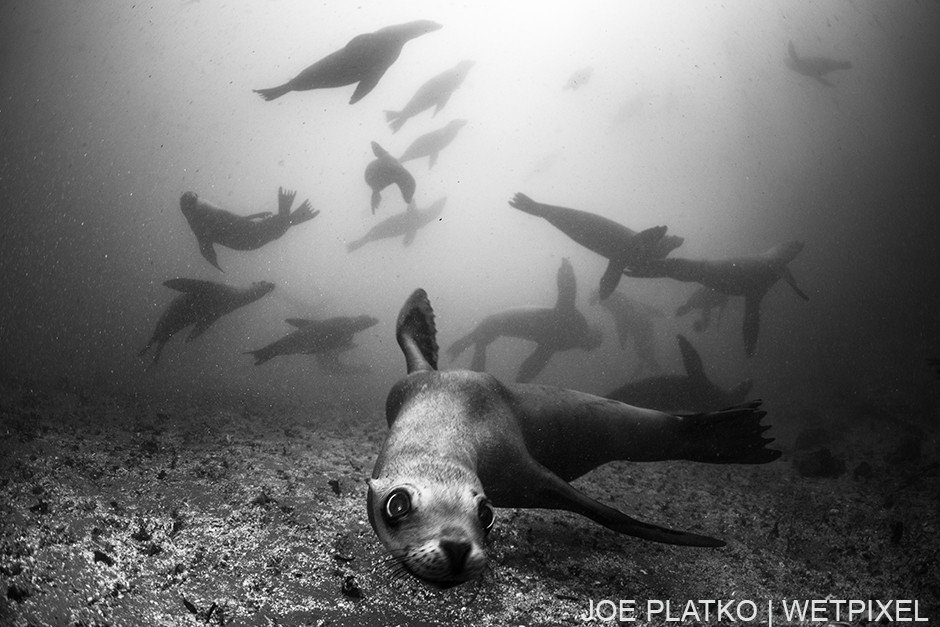 The Breakwater is a rookery for California Sea Lions (*Zalophus californianus*), allowing for year round encounters.