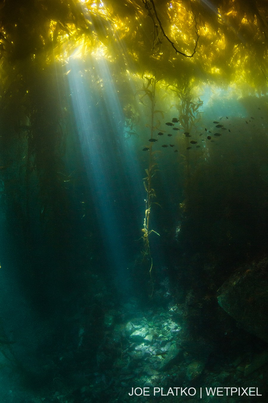 A shaft of light cuts through the kelp canopy, illuminating the rocky floor below.