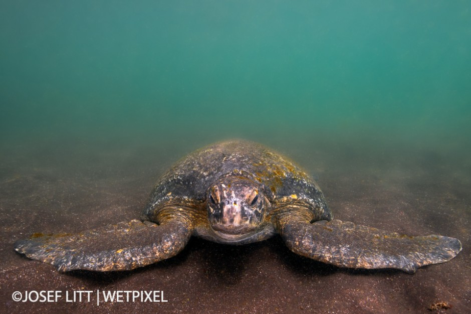 found this Galapagos green turtle while snorkelling at Punta Vicente Roca. The visibility was poor due to the sandy bottom and the green algae in the cold water.