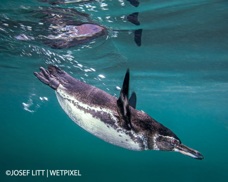 Penguins are unbelievably fast swimmers. I got lucky to capture one to dive just in front of me.