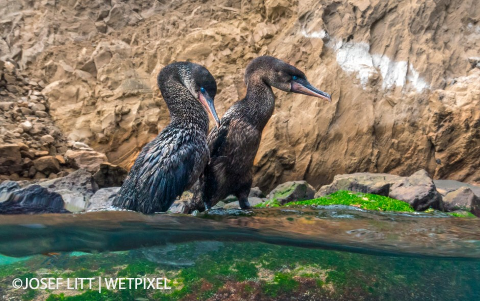 Once engaged in their courtship dance, the flightless cormorants don't care about their surroundings or the spectators.