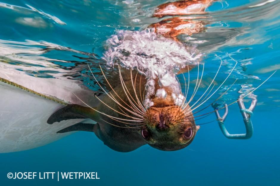 Playful juvenile Galápagos sea lion imitating a scuba diver blowing bubbles at Punta Cormorant, Floreana, Galápagos