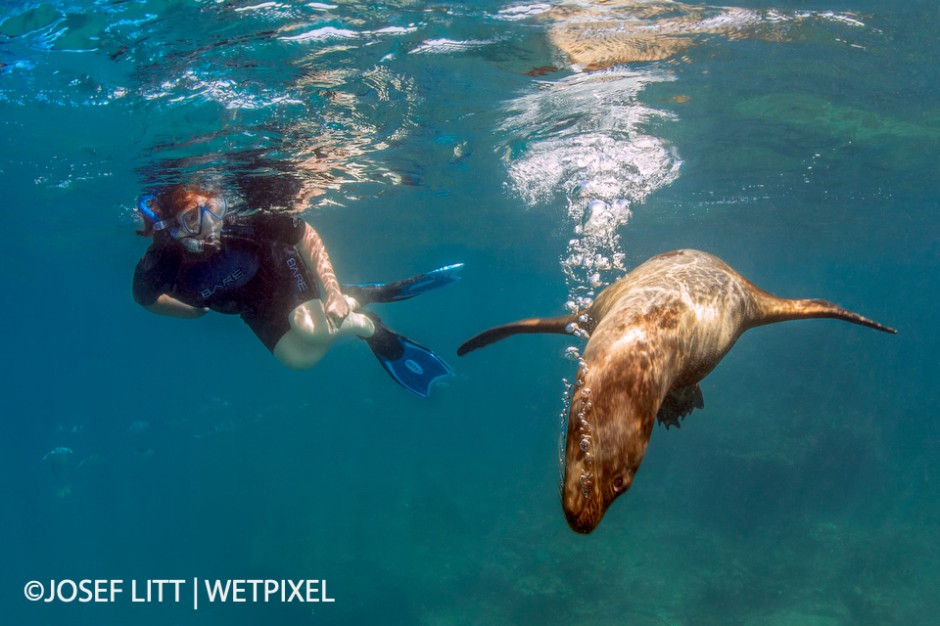 The Galapagos sea lions love to play peek-a-boo with snorkelers.