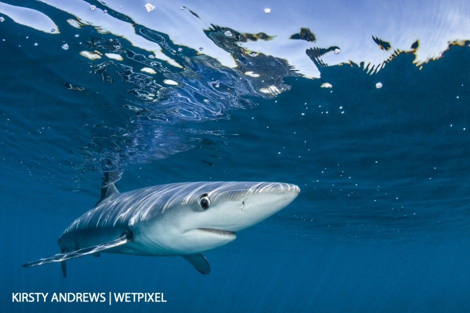 Cornish blue - with the aid of chum, blue sharks can reliably be seen off the South coast between June and October with excellent offshore visibility.