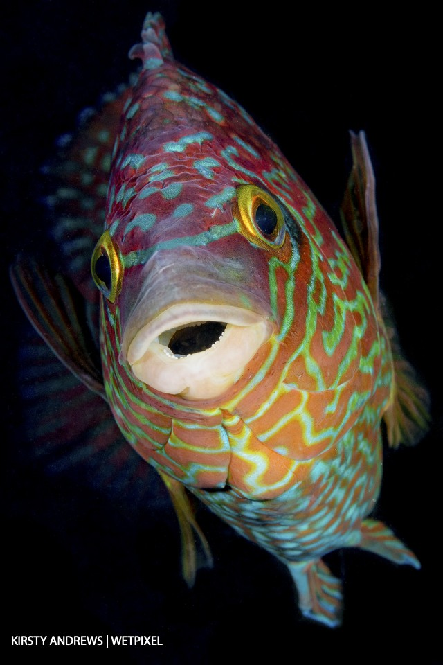 Colourful corkwing - this colourful male corkwing wrasse wouldn't look out of place in tropical waters but is a common sight in shallow waters all around the UK.