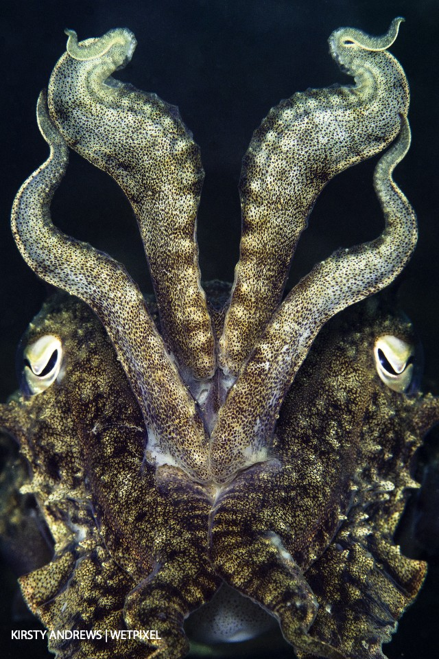 Cuttlefish are one of the most common photographic subjects in the UK.