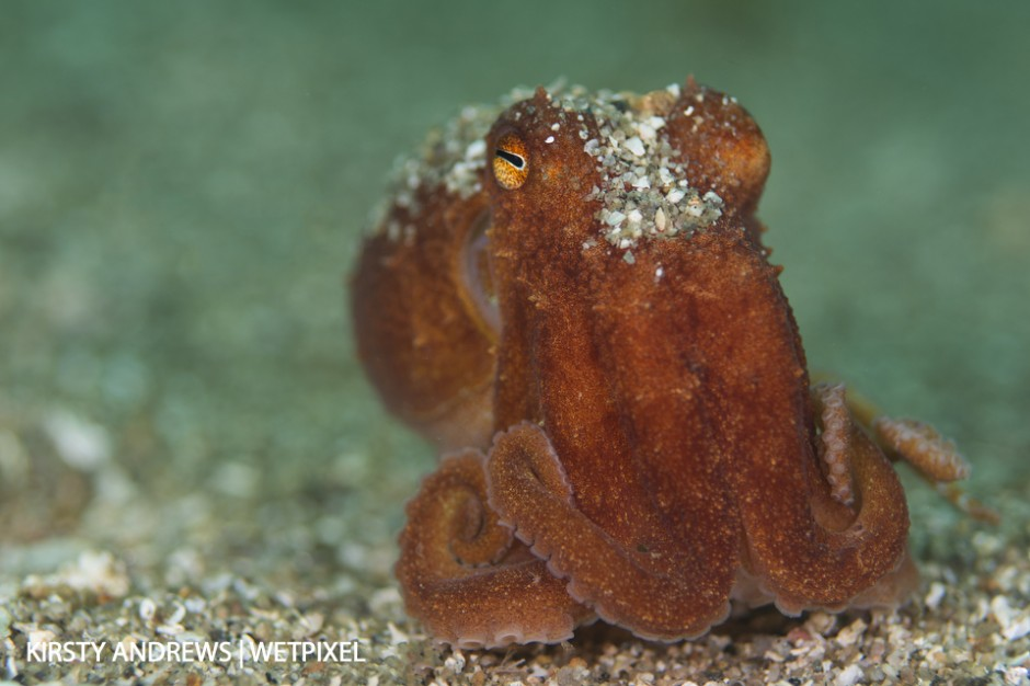 Shetland curled octopus - octopus are quite regularly seen in some parts of the UK.
