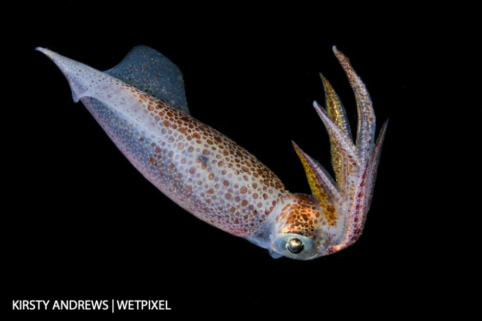 Night squid - squid are regularly seen on night dives