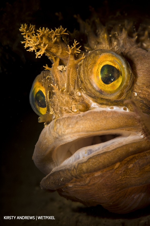 Yarrell's blenny - I love the characterful expressions of blennies.  We have around a dozen native species, including this grumpy Yarrell's blenny.
