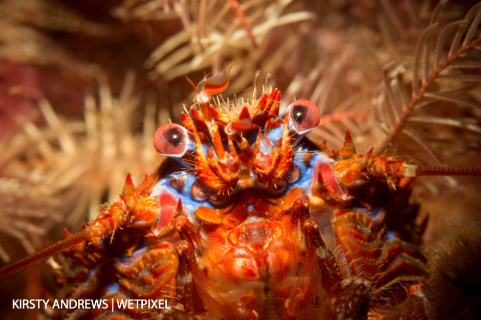 Squattie in featherstars - in UK waters you are rarely far from a photogenic crustacean.