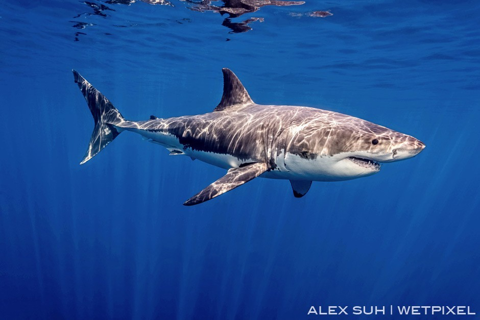 Alex Suh (Great white sharks): Love the sun's ray off the back but more about the details that you can see in the coloring and teeth of this GWS.