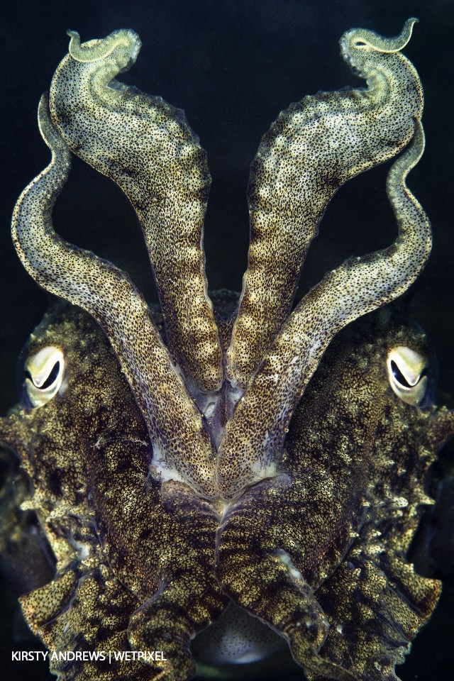 Kirsty Andrews (UK Underwater): Cuttlefish are one of the most common photographic subjects in the UK.