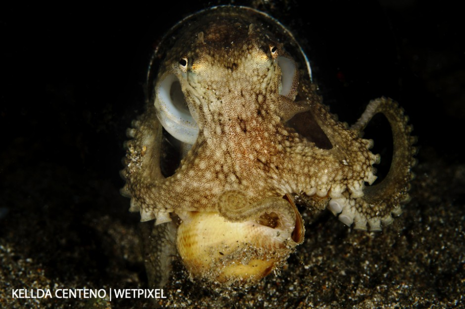 During a night dive at Anilao Pier, this octopus living out of a beer bottle was wrestling with a snail. The octopus eventually won its dinner retreated into its home.