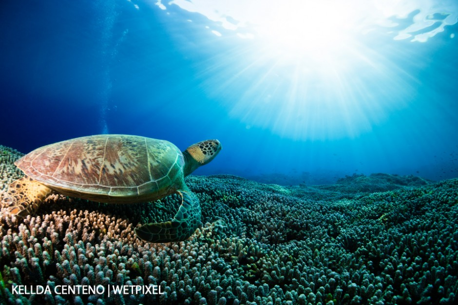 What my dreams are made of a green turtle, staghorn coral as far as the eye can see, and fantastic visibility in Tubbtaha.