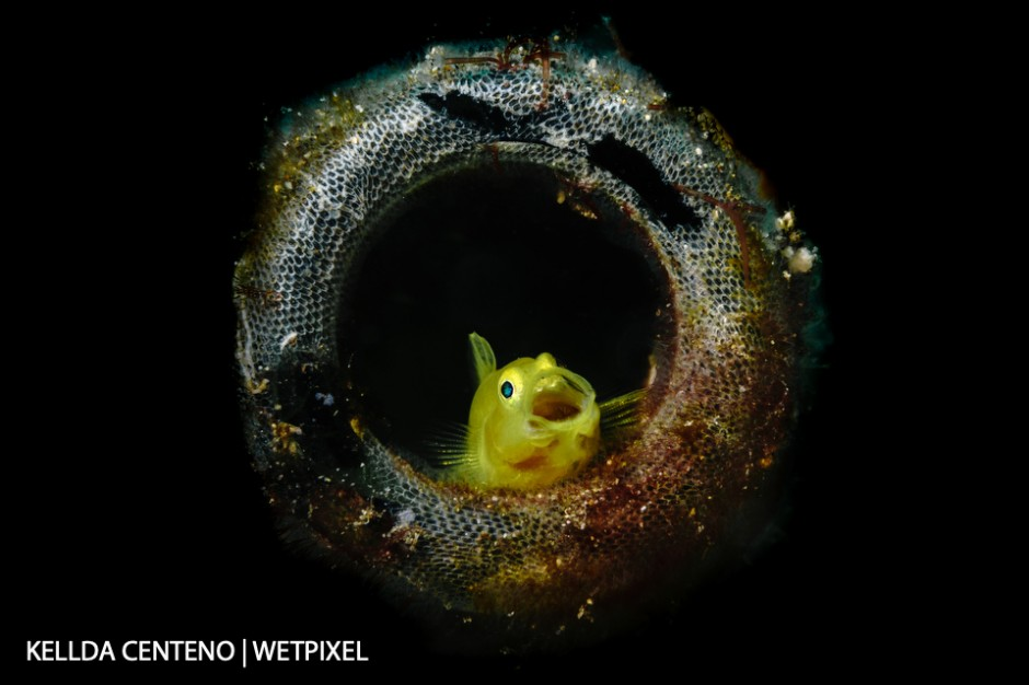 Parked myself in front of this yellow goby and waited for it to yawn. It was living in a beer bottle with its partner. Shot in Anilao.