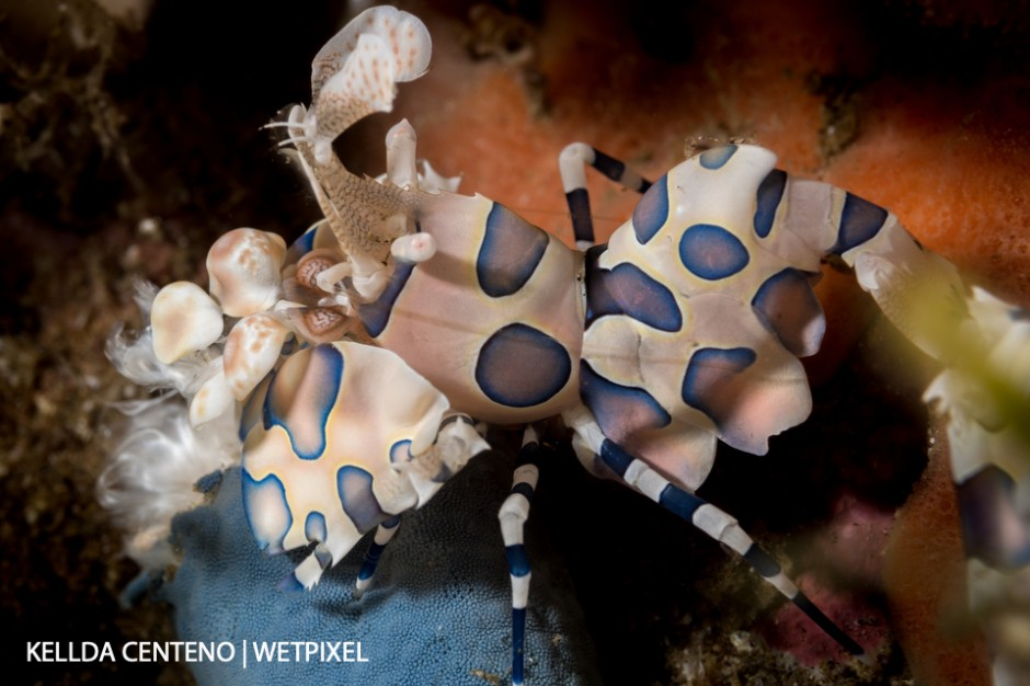 Saw this harlequin shrimp feeding on a starfish under a rock in Dauin.