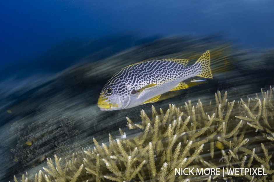 Yellow banded sweetlips (*Plectorhinchus lineatus*), against staghorn coral cleaning station.