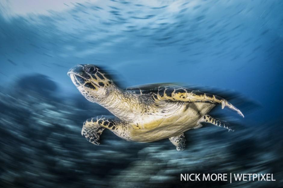 Hawksbill turtle (*Eretmochelys imbricata*) against the reef.