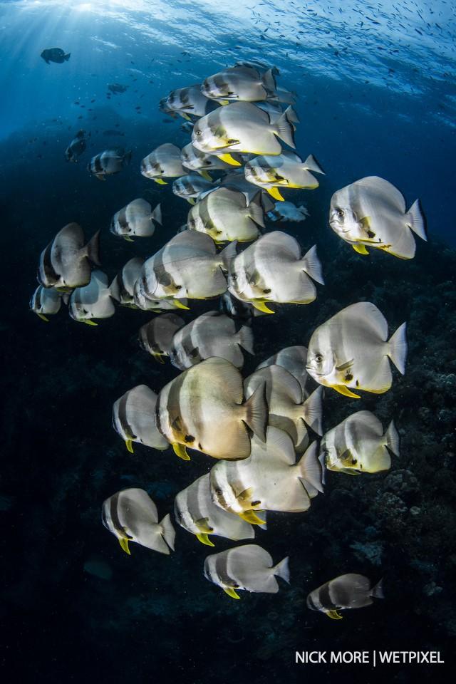 Schooling dusky batfish, *Platax pinnatus*, Boo West, Misool.