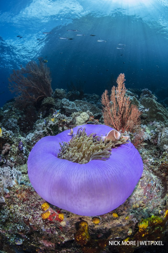 Balled-up anemone with pink skunk anemone fish (*Amphiprion perideraion*) at Whale Rock, Misool.