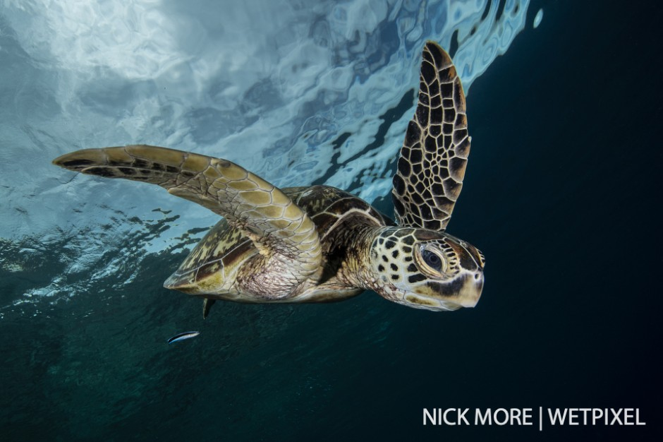 A green turtle swoops down from the surface (*Chelonia mydas*.)