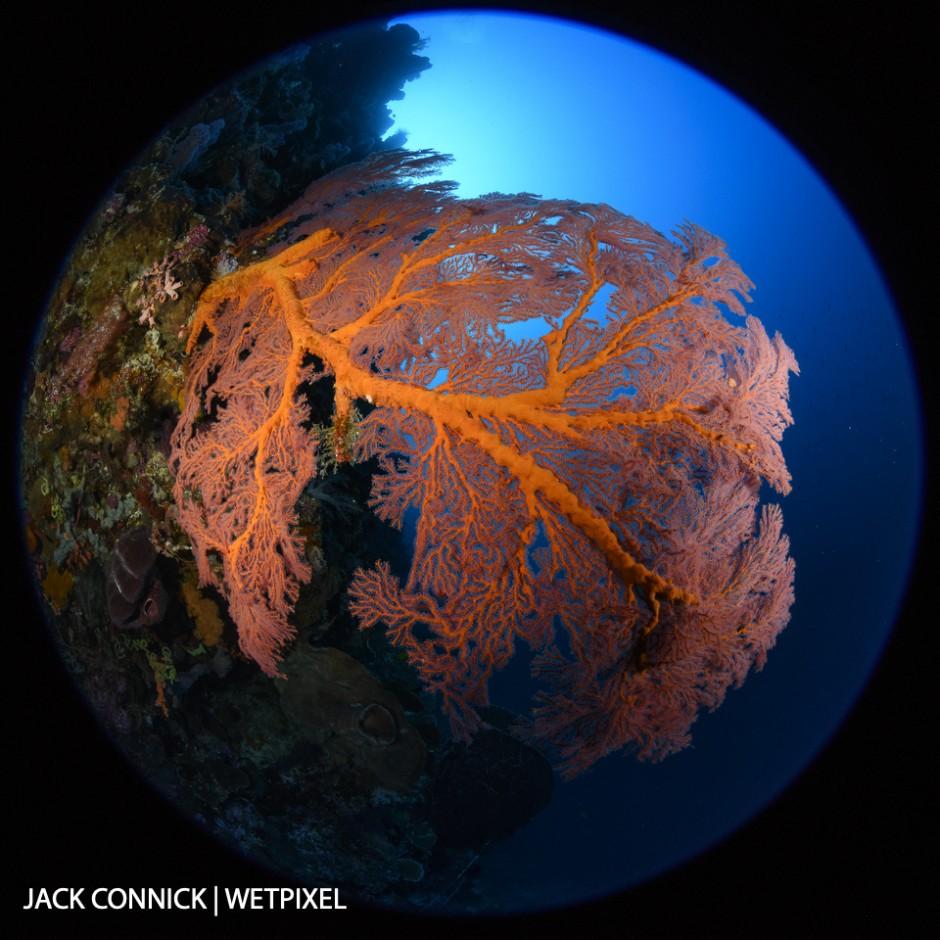 Gorgonian Fan. Nikon 8-15mm FE lens @ 8mm. ISO 400, f/16 1/100 sec.