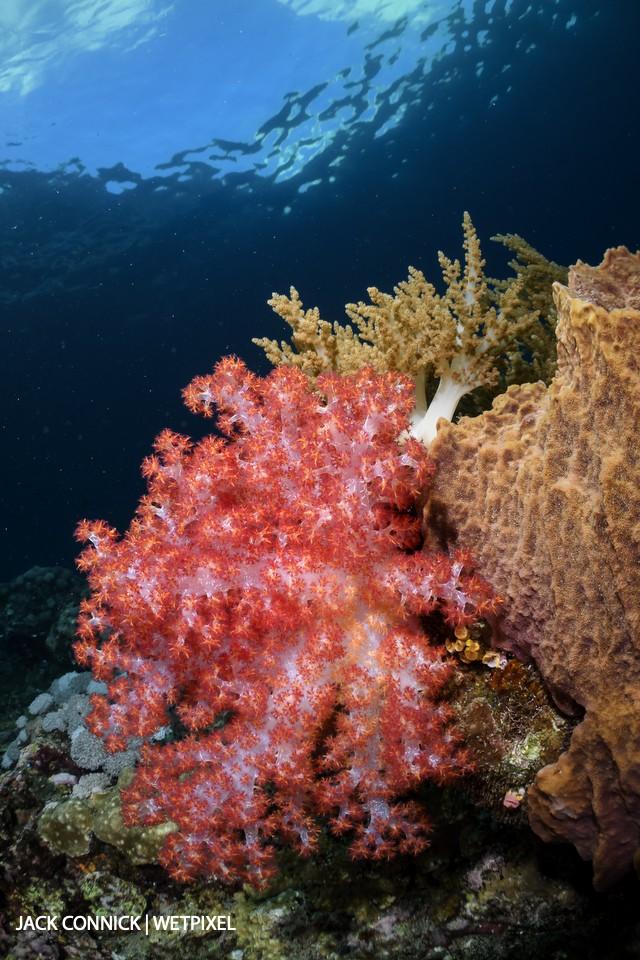 Soft coral. Palau Manuk island. 60mm Nikkor & Nauticam WWL wet lens. ISO 1000, F/16 @ 1/100 sec.