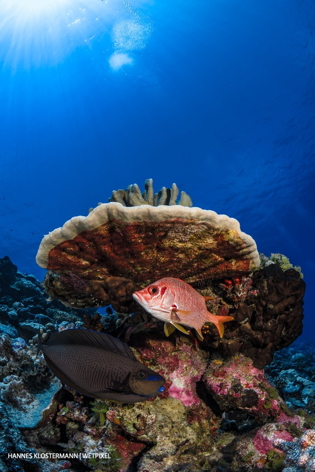 A sabre squirrelfish (*Sargocentron spiniferum*) is joined by a bignose unicornfish (*Naso vlamingii*).