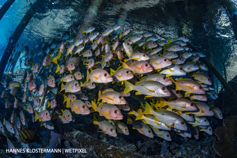 Onespot snapper (*Lutjanus monostigma*) gather underneath a jetty in Fakarava.