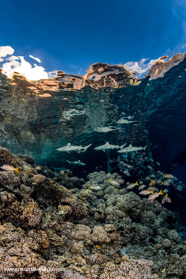 Blacktip reef sharks (*Carcharhinus melanopterus*) patrol the shallow areas of a reef.